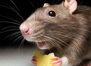 Как избавиться от крыс в частном доме: 5 эффективных народных средств